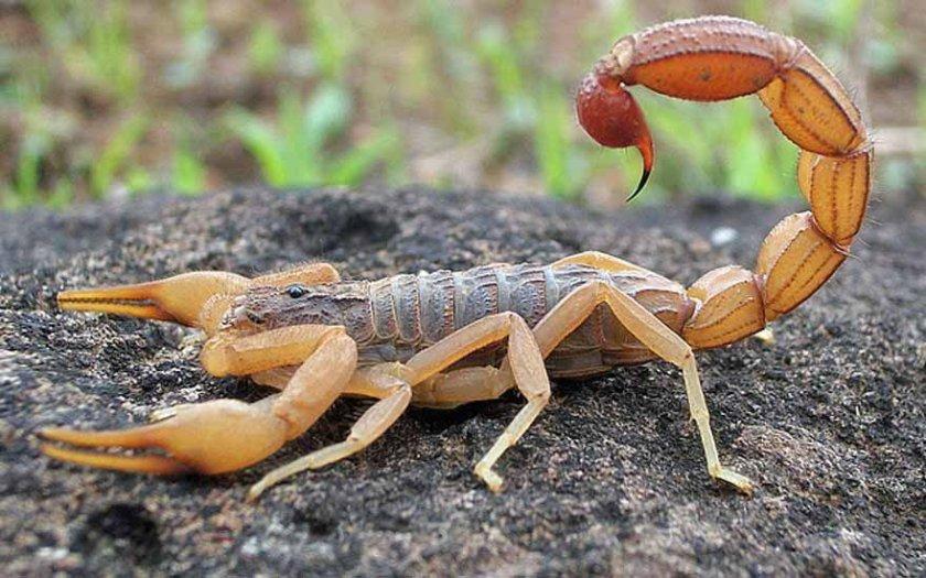 Escorpião.jpeg