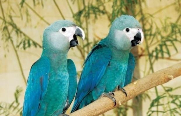 Ararinha Azul